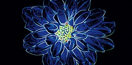 Fluorescent Flower Blue Inserto